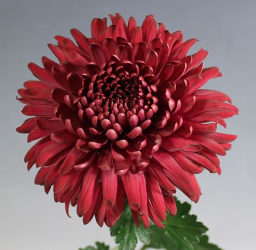 Chrysanthemum regal Mist Red